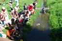 Enten werden ins Wasser gesetzt